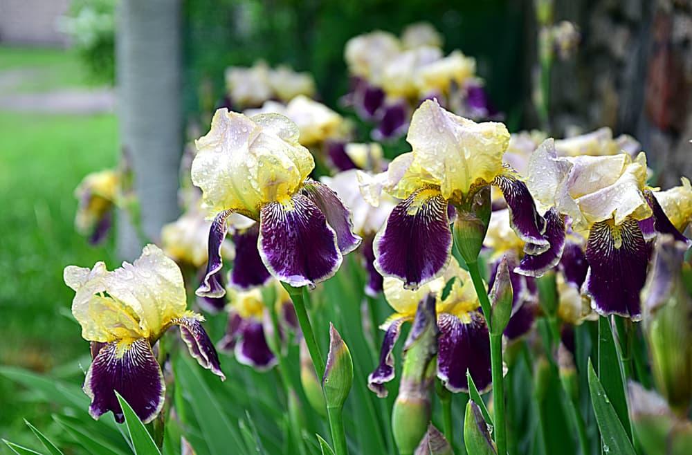a bed of bearded iris flowers