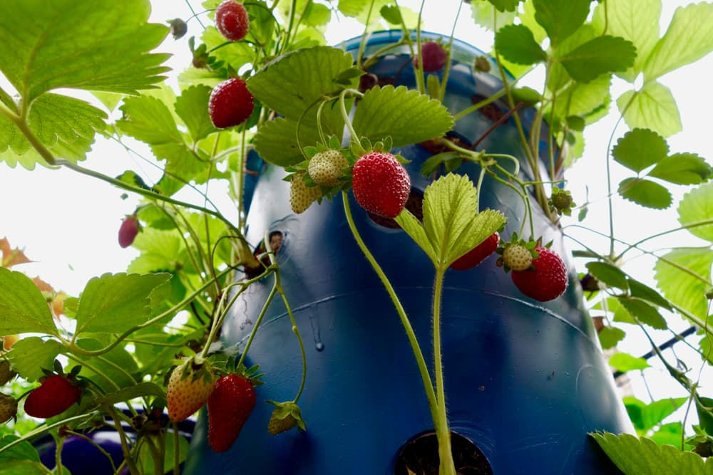a blue specialised strawberry planter