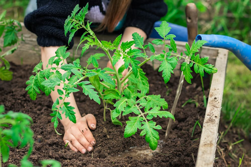 tomato plants being planted out in raised beds