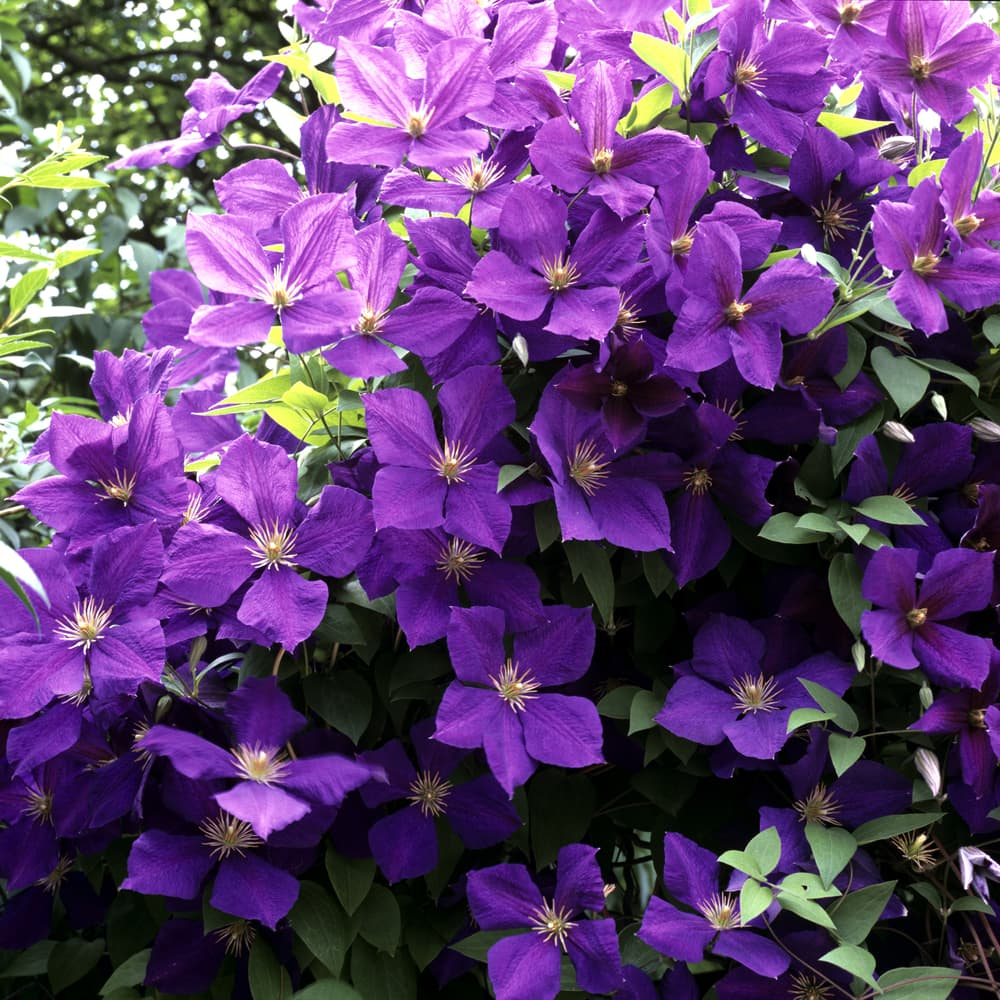purple shaded flowers of Clematis 'Jackmanii'