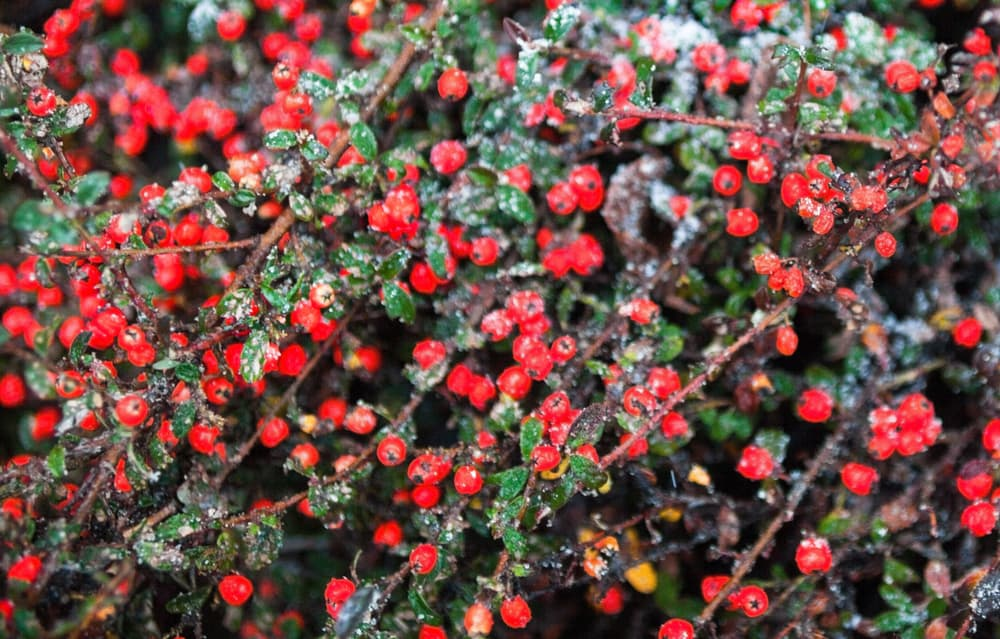 Red cotoneaster berries