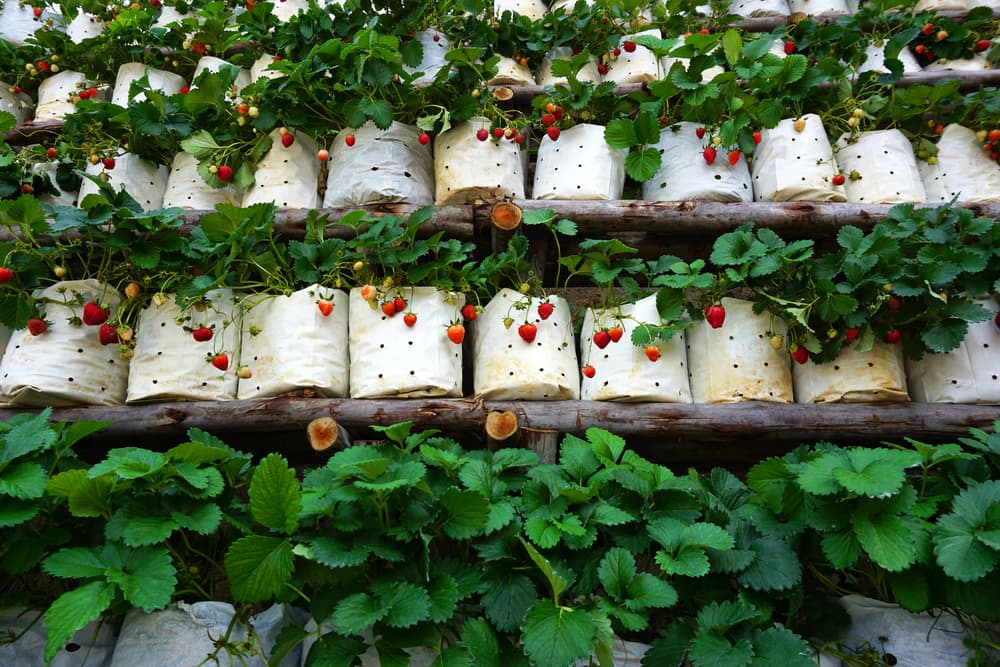 rows of white strawberry pots with successful growth