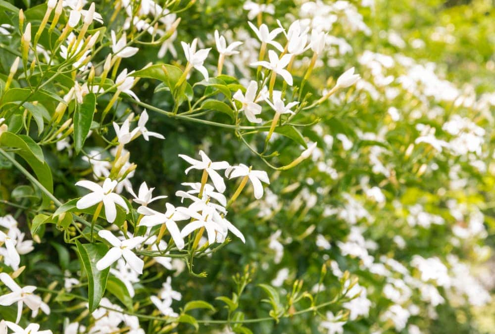 white star jasmine flowers