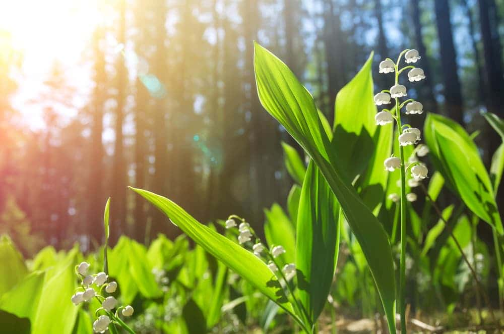 lily of the valley growing in a sunny forest