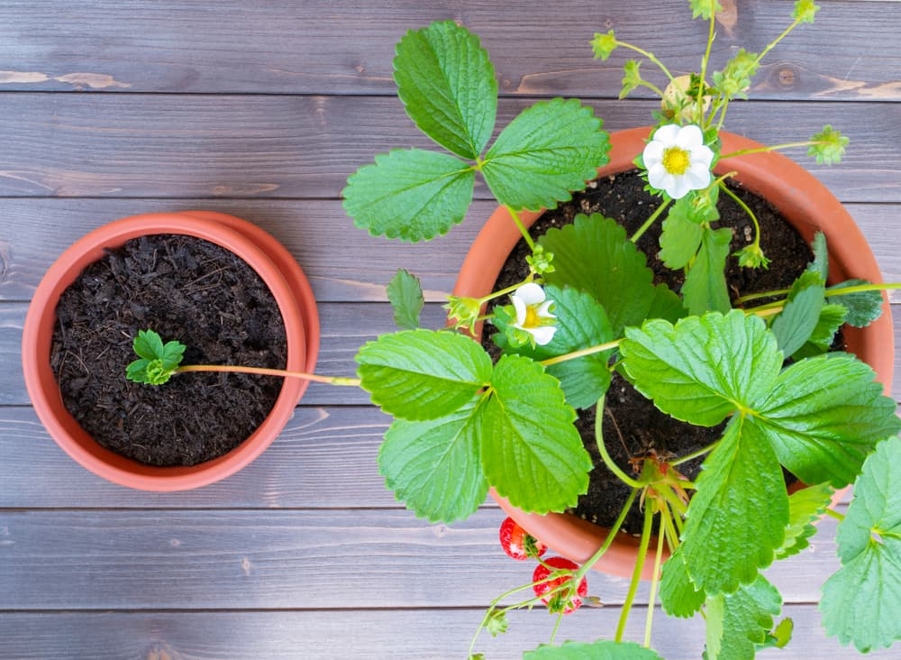 a strawberry runner being established in a second terracotta pot