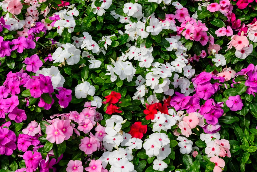 a large mixed group of Impatiens walleriana flowers