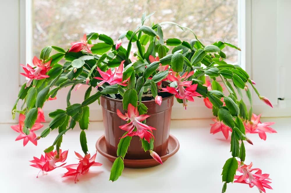 Christmas cactus in a plastic pot on a windowsill