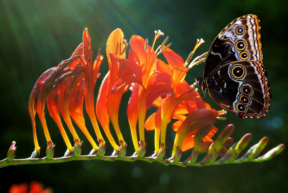 a butterfly sat on crocosmia flowers
