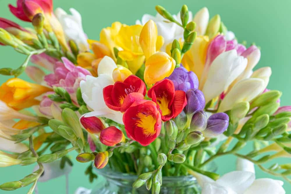 a bouquet of freesia flowers in various colours