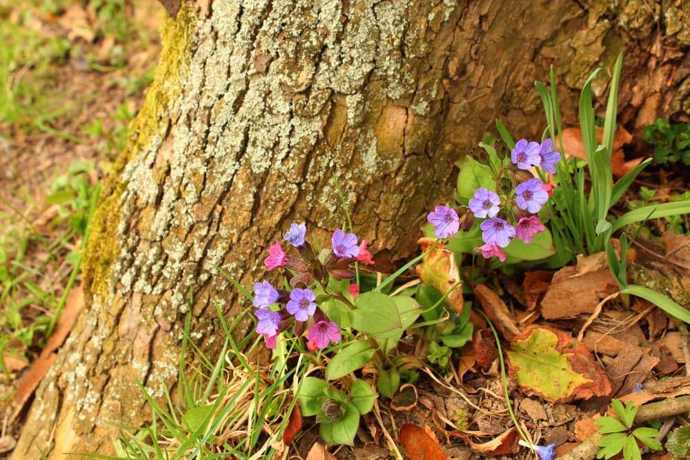 tiny purple flowers of Pulmonaria officinalis growing under a tree