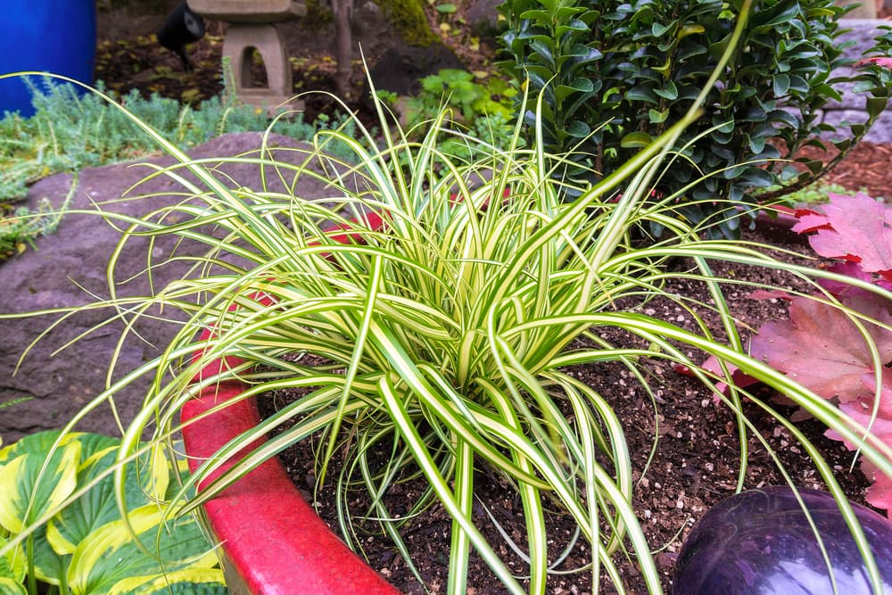 Carex in a red plant pot