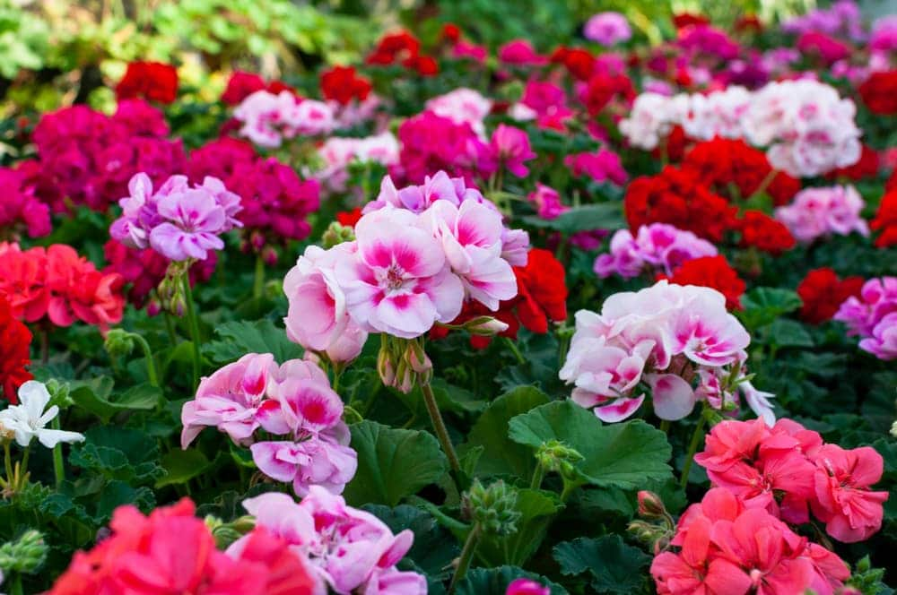 geraniums in various shades of pink
