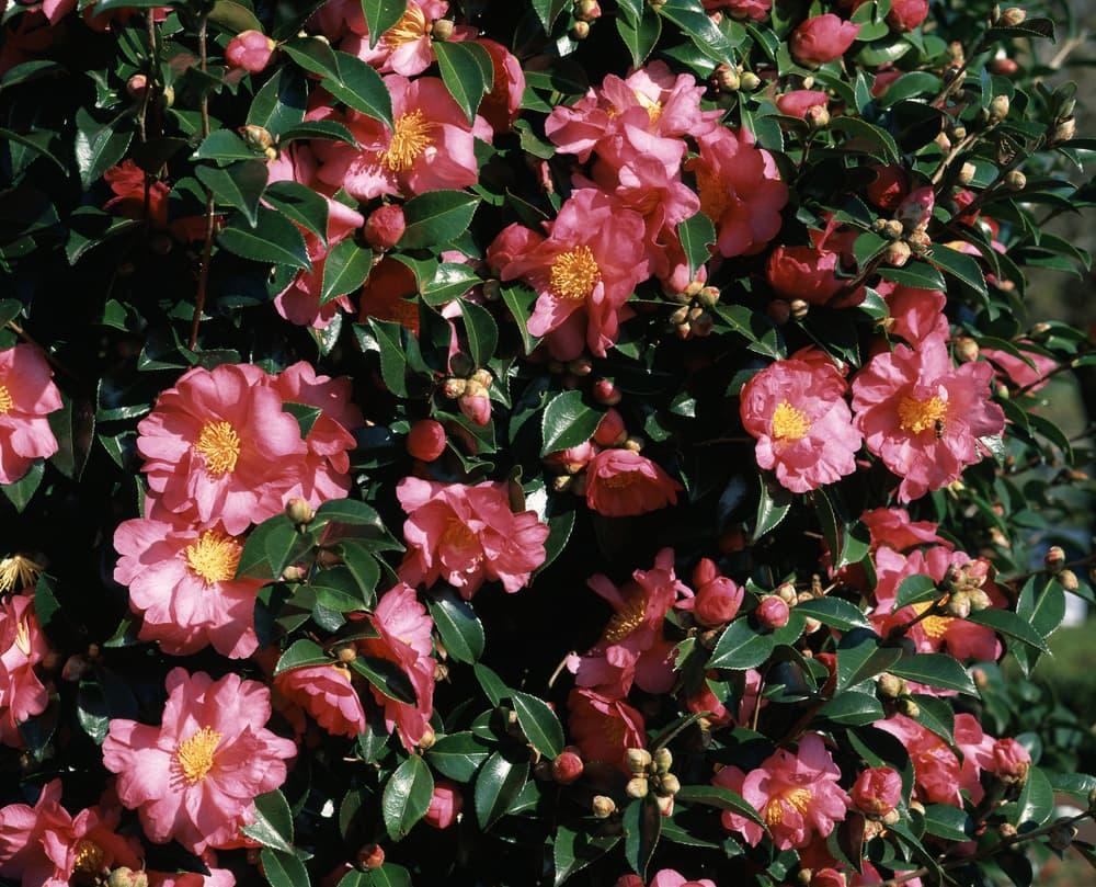 pink Flower Of Sasanqua with dark green foliage