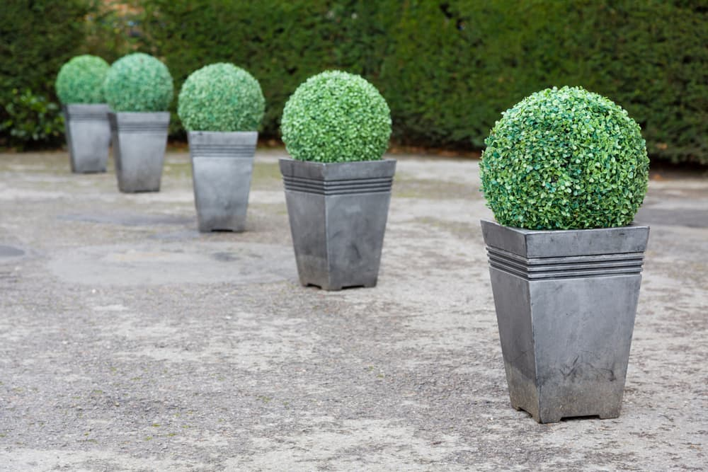 boxwood topiary in tall metallic planters