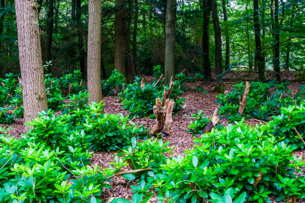forest clearing with pachysandra bushes