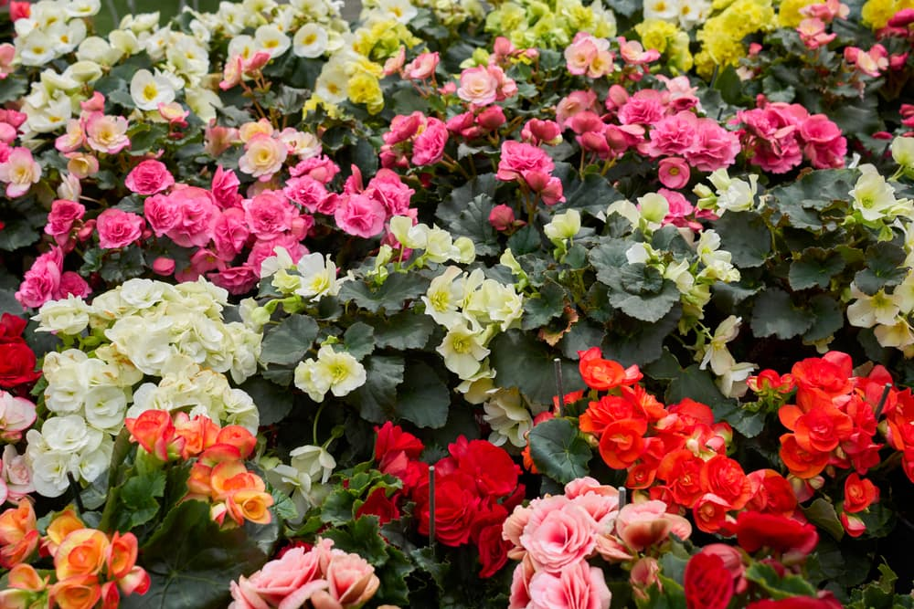 tuberous begonia plants in pink, red, orange, white and yellow