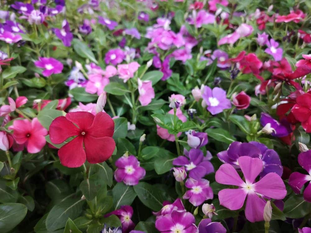 periwinkle flowers in crimson, purple and pink