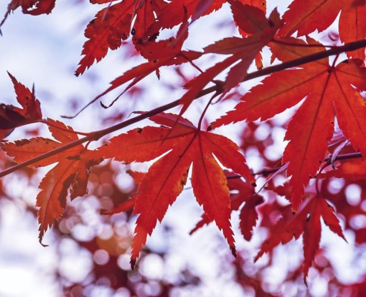 Red Acer palmatum foliage