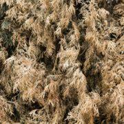 brown dried conifer foliage