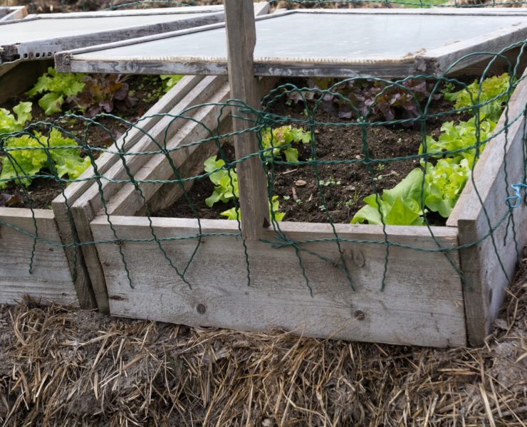 timber DIY cold frames with salad foliage being grown
