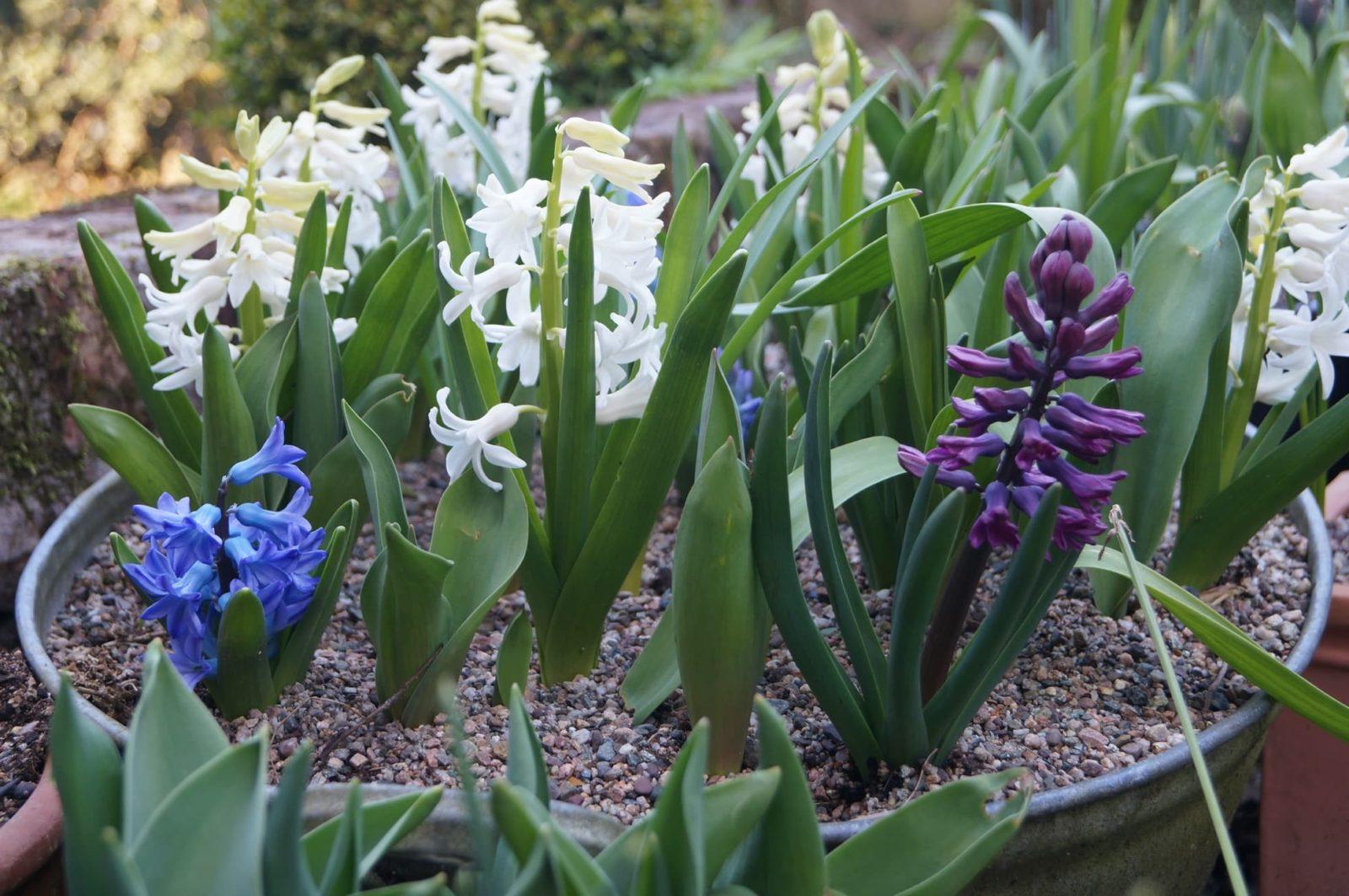 hyacinths, tulips and allium planted in a tin bath bulb lasagne