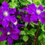 purple flowering clematis in the garden