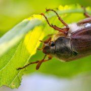 cockchafer beetle on plant foliage