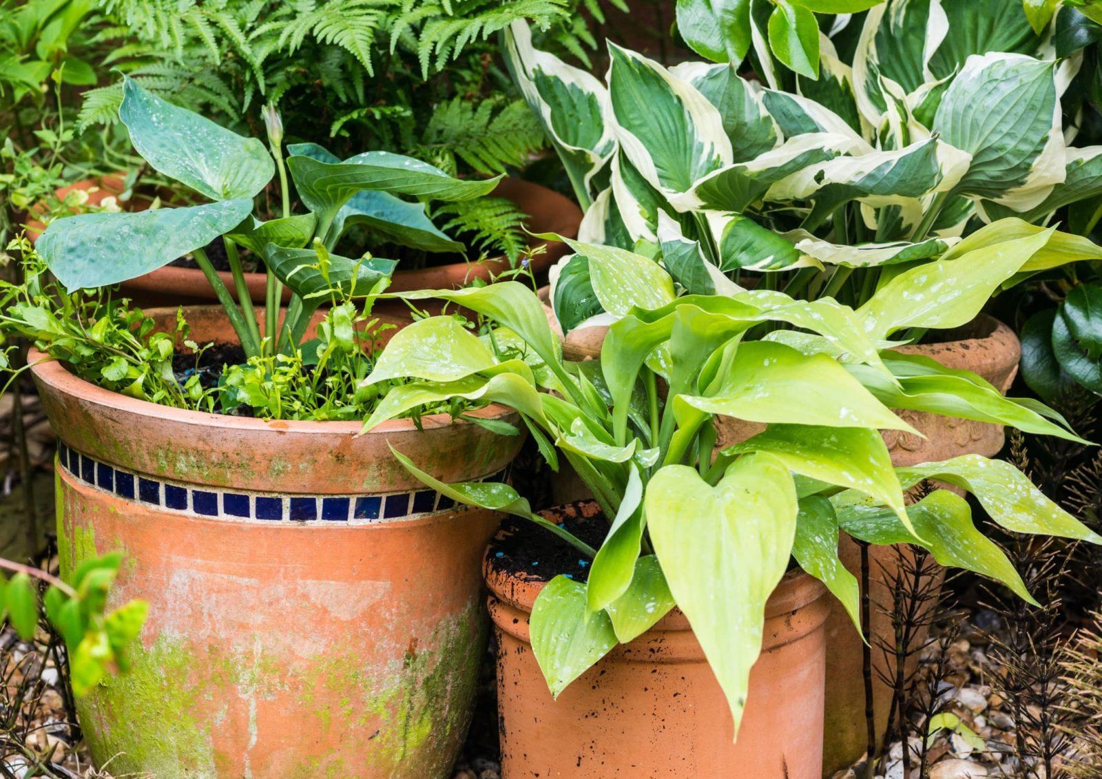 various hosta plants in terracotta pots
