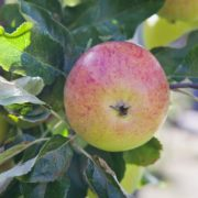 double cordon apple tree in an orchard