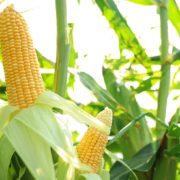 ripe corn cobs growing in a field
