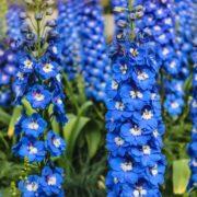blue upright delphinium flowers