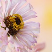 white zinnia flowers with blurred background