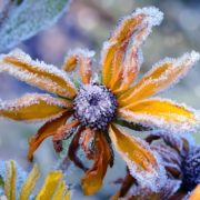 frost covering flowers and foliage in a winter garden