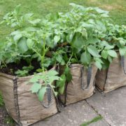 three large sacks with potato plants growing from them in the garden