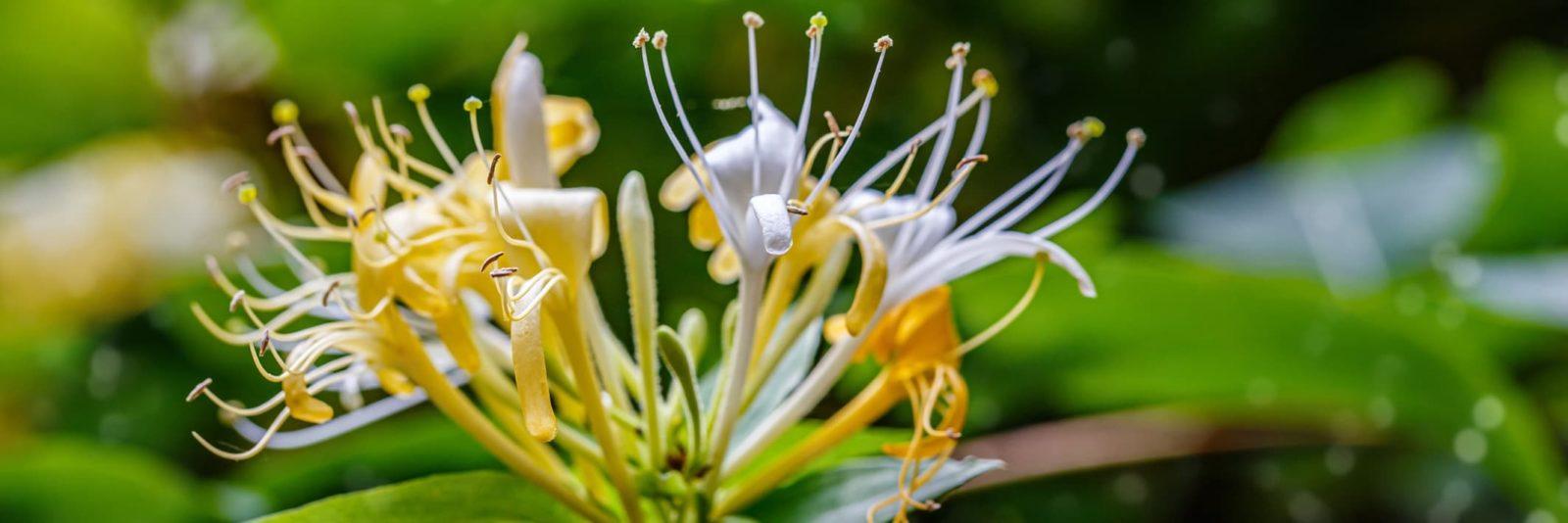 lonicera honeysuckle closeup