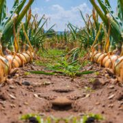 rows of onion plants in a field ready for harvest