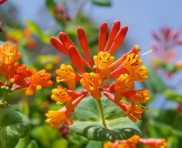 orange and scarlet honeysuckle in bloom