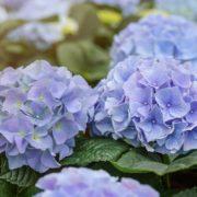 purple blooming hydrangea