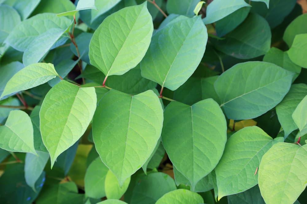 lobed fallopia japonica leaves