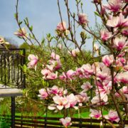 blossoming magnolia tree with a balcony in the background