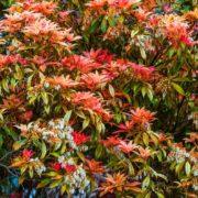 pieris japonica leaves