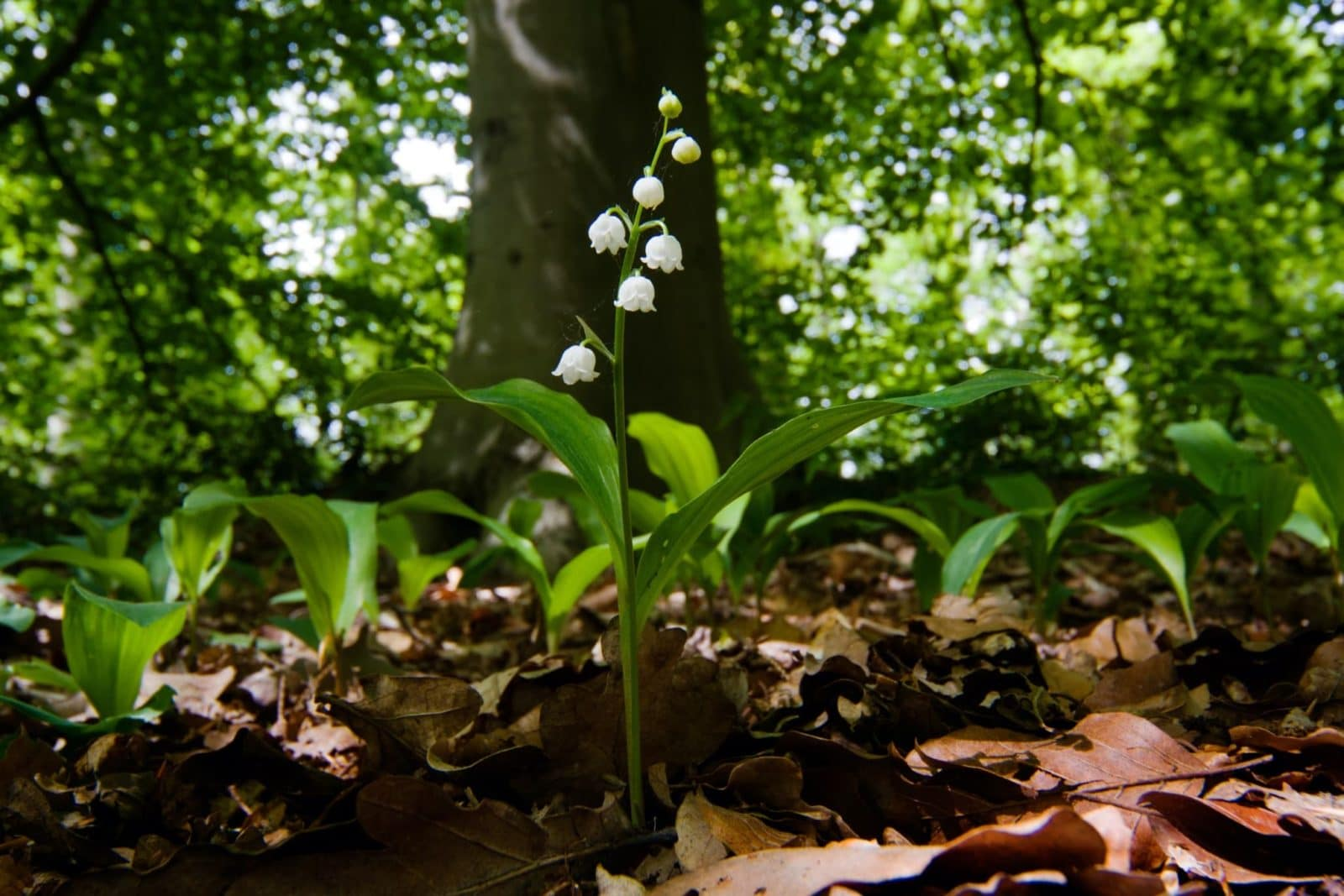 lily of the valley growing under the shade of a tree