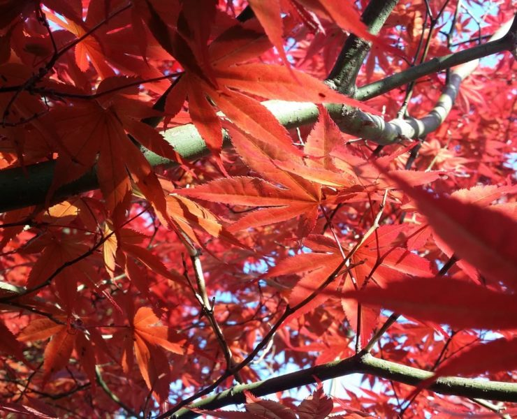 red leaves of a Japanese Maple tree
