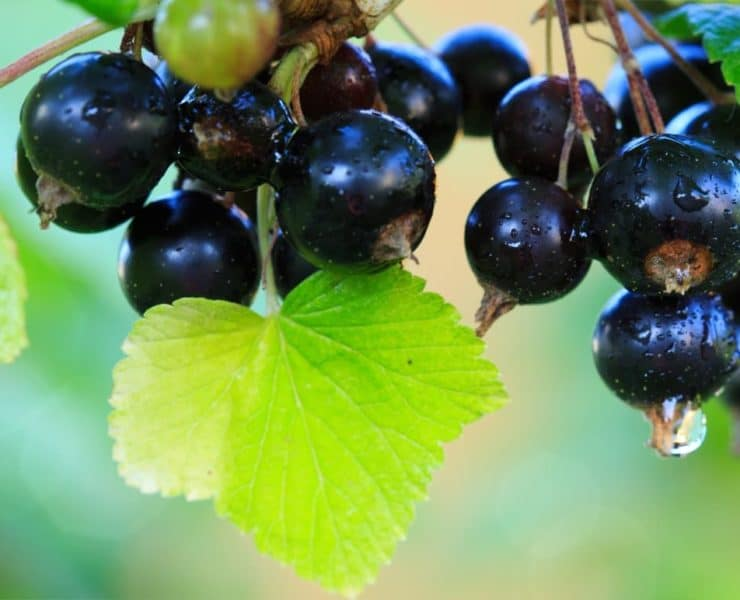 a branch of ripe and fresh blackcurrants