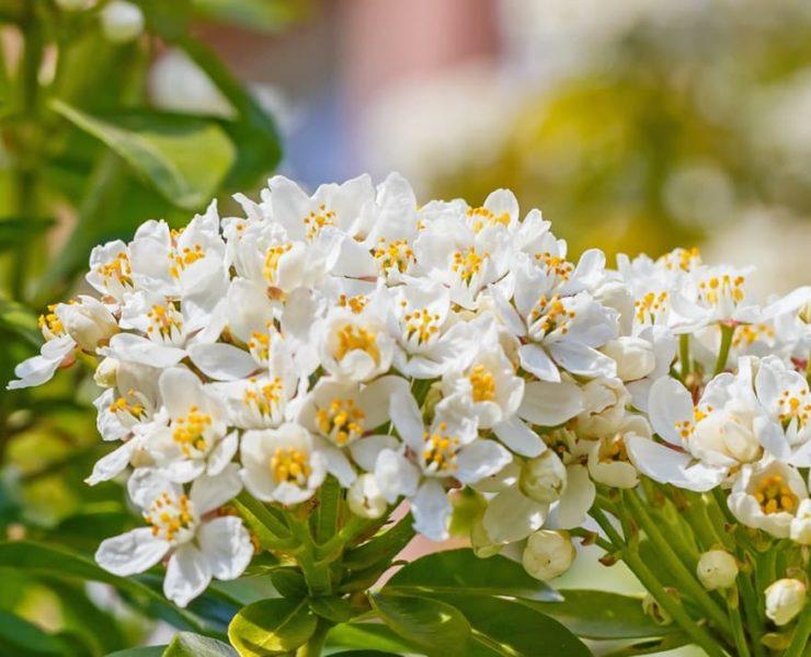 white choisya ternata flowers
