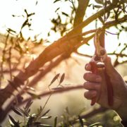 pruning an olive tree with secateurs and sunset in background