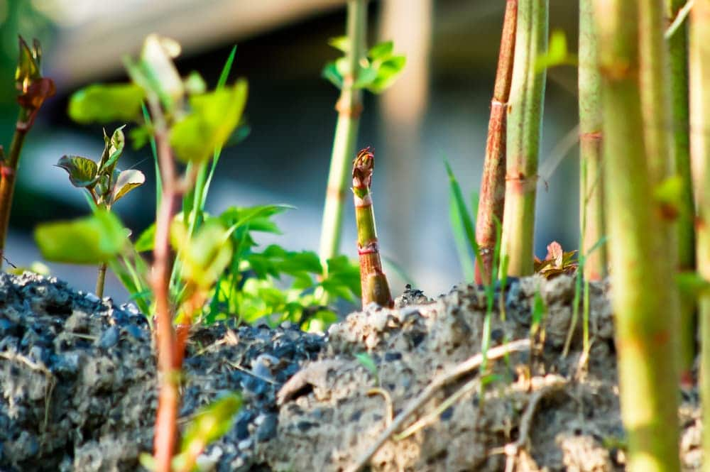 red japanese knotweed shoots emerging from the ground