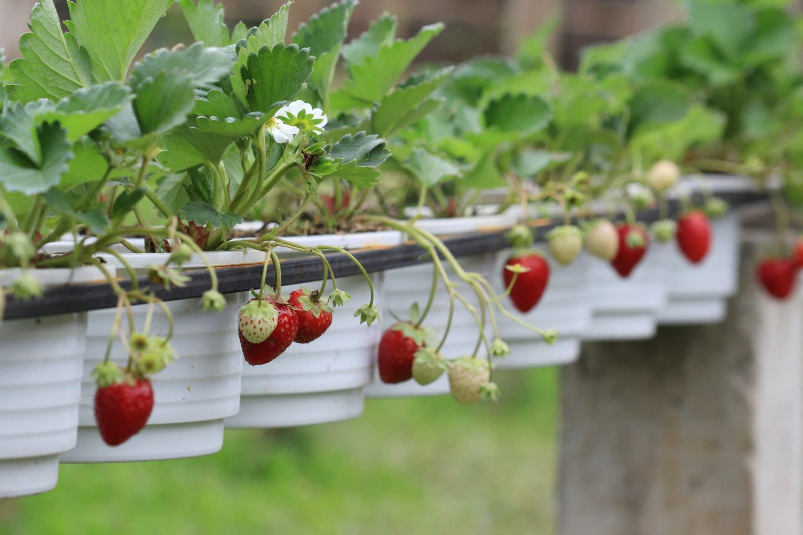 red strawberry fruits hanging from grey planters