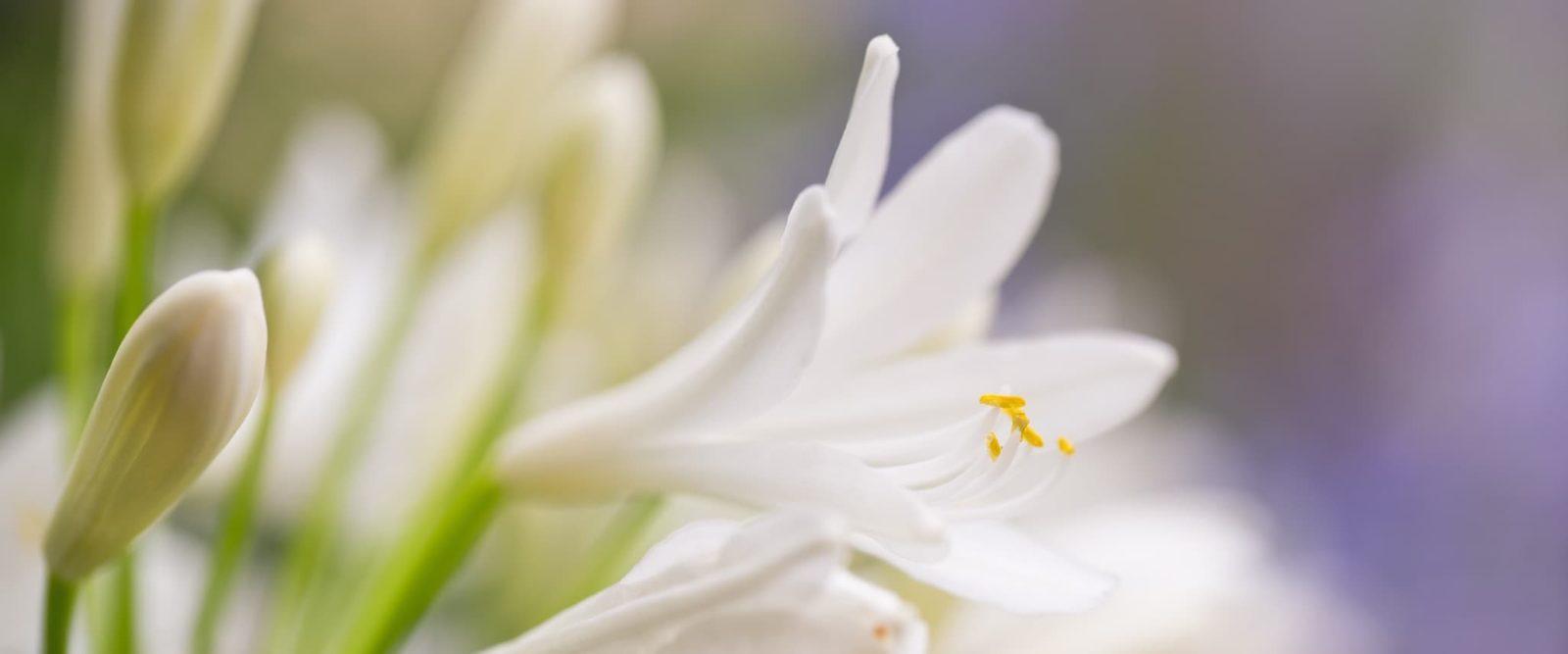 white agapanthus flowers