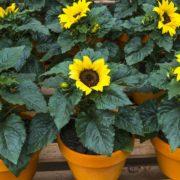 sunflowers growing in terracotta pots